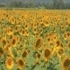 A Field Of Sunflowers - VideoHive Item for Sale