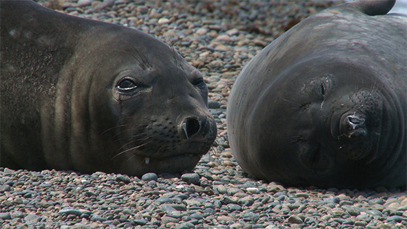 Couple of Fur Seals