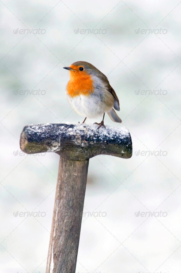 A Robin perched on a fork handle in the snow - Stock Photo - Images