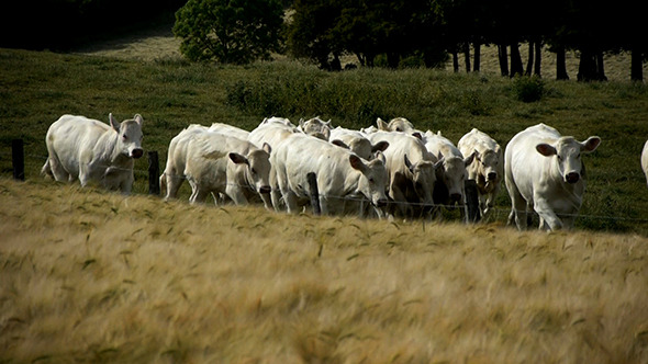 Herd Of Cows Grazing On A Farm
