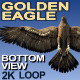 Golden Eagle Bottom View - VideoHive Item for Sale