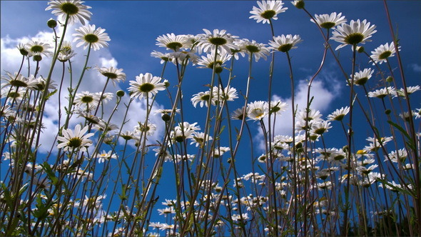 Long Stalks of Daisies on the Field on a Morning
