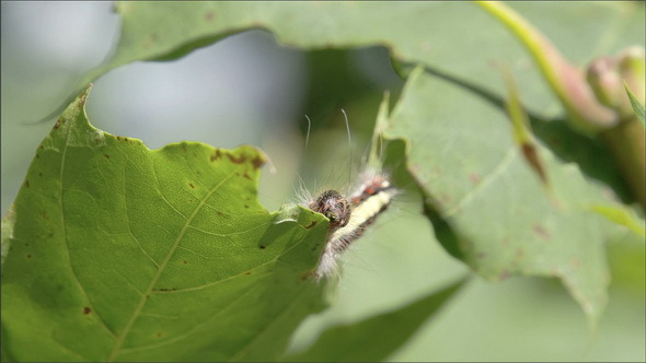 Brown Caterpillar Crawling on the Leaf