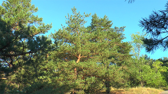 Pine Forest on a Background of Blue Sky
