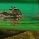 Crocodile Ready To An Attack - VideoHive Item for Sale