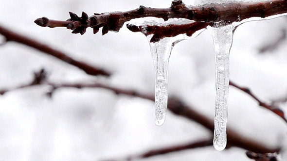 Frozen Icicles On The Branch