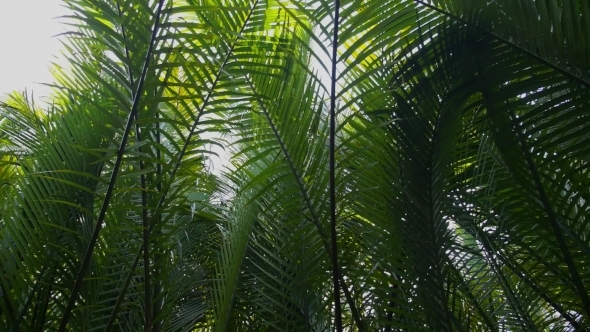 Tropical Rain Forest With Green Leaves Of Palms