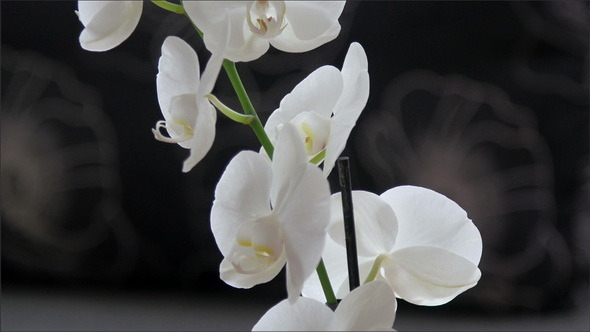 White Orchid on the Orchard