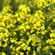 Yellow Canola Flowers In Field - VideoHive Item for Sale