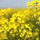 Field Of Canola Flowers - VideoHive Item for Sale