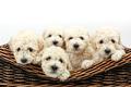 Cute little dogs in a wooden basket