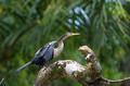 Darter or snakebird, anhinga, wildlife in Costa Rica - PhotoDune Item for Sale