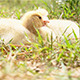 Two Cute Ducks in The Wild - VideoHive Item for Sale