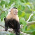 Gracile Capuchin Monkey, Wildlife in Central America. - PhotoDune Item for Sale