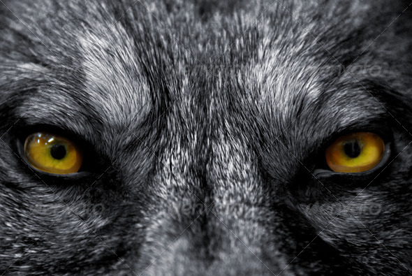 eyes of wolf - Stock Photo - Images