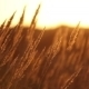 Dry Grass On Sunset - VideoHive Item for Sale