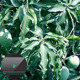 Mangoes in Tree - VideoHive Item for Sale