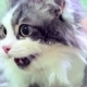 Scared White And Grey Cat With Open Mouth - VideoHive Item for Sale
