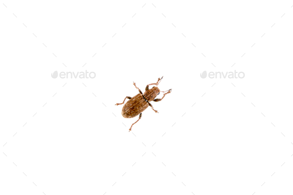 Brown beetle on the white background - Stock Photo - Images