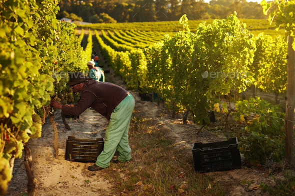 Worker harvesting grapes for wine - Stock Photo - Images