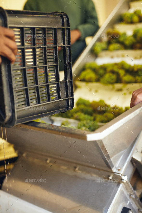Working loading grapes on a conveyor - Stock Photo - Images