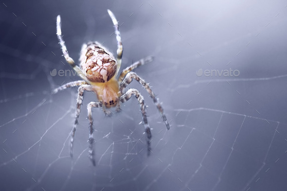 Araneus Spider - Stock Photo - Images