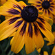 Rudbeckia Flower After the Rain - VideoHive Item for Sale