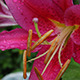 Daylily After Rain - VideoHive Item for Sale