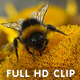 Bumblebee and Hoverflies Gathering Pollen  - VideoHive Item for Sale