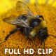 Bumblebee Gathering Pollen  - VideoHive Item for Sale