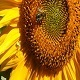 Sunflower And Bee, Crab - VideoHive Item for Sale