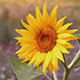Small Sunflower - VideoHive Item for Sale
