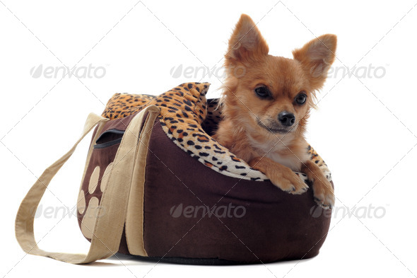travel bag and chihuahua - Stock Photo - Images