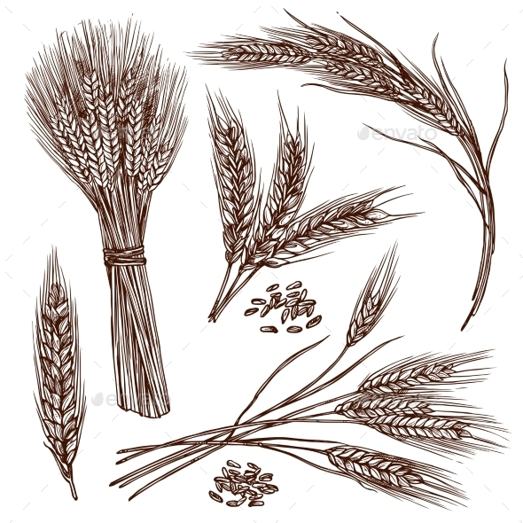 Wheat Sketch Set - Flowers & Plants Nature