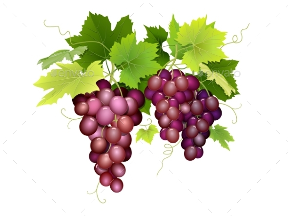 Three Bunches of Grapes Hanging