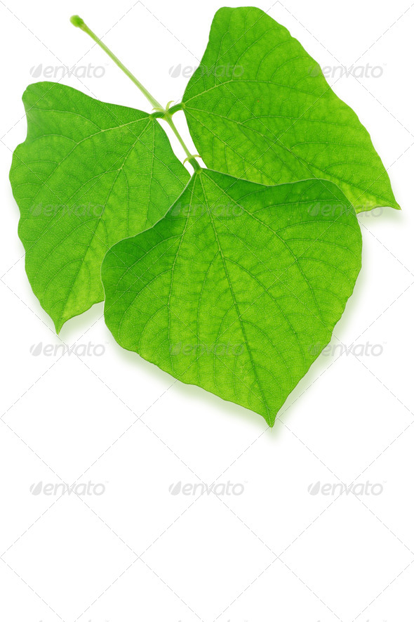 Green leaves - Stock Photo - Images