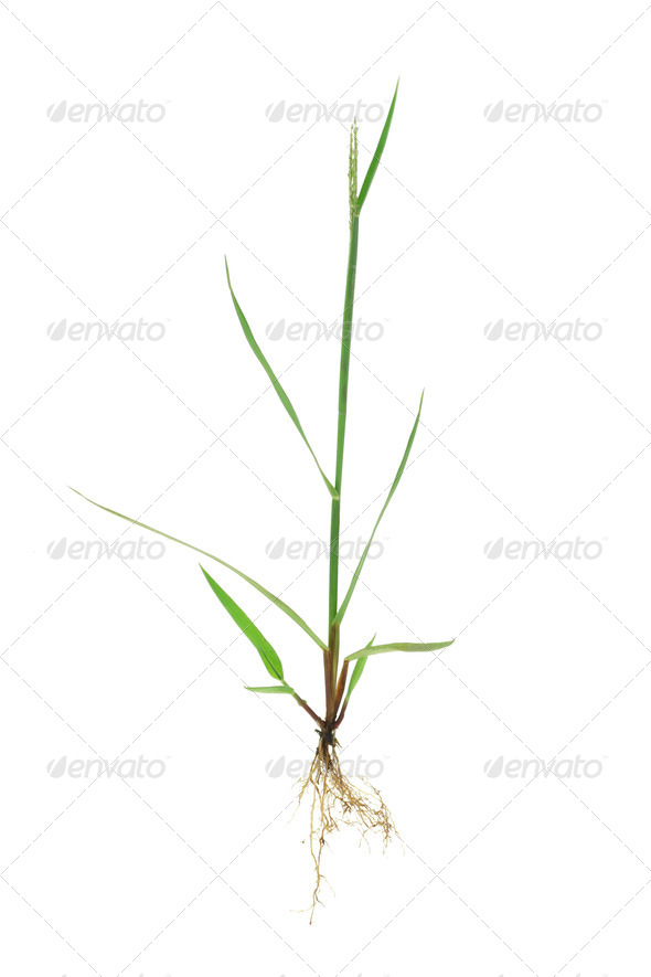 Green grass with roots - Stock Photo - Images