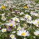 Daisy Meadow - VideoHive Item for Sale