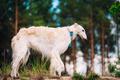 White Russian Wolfhound Dog, Borzoi, Russian Hunting, Sighthound