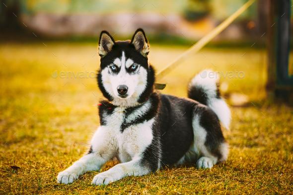 Young Happy Husky Puppy Eskimo Dog - Stock Photo - Images
