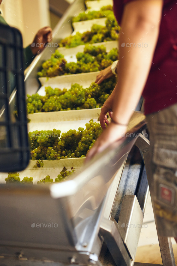Hand sorting grapes on a conveyor belt at winery - Stock Photo - Images