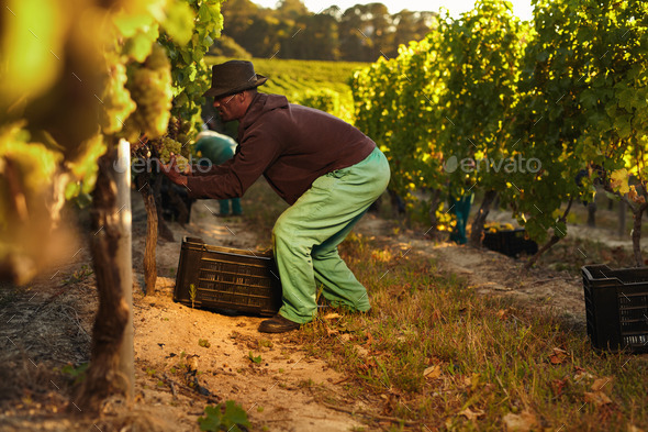 Worker working in vineyard - Stock Photo - Images