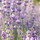 Lavender Bunch In Wind - VideoHive Item for Sale