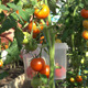 Harvest Time For Tomatoes 2 - VideoHive Item for Sale