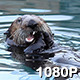 Male Sea Otter Crunches His Mussels - VideoHive Item for Sale