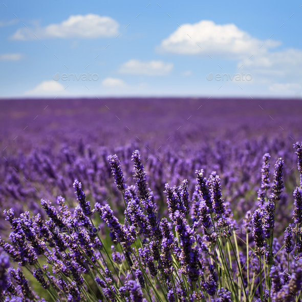 Lavender flower blooming fields horizon. Valensole Provence, Fra - Stock Photo - Images
