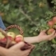 Young Man Gathering Apples To The Basket - VideoHive Item for Sale