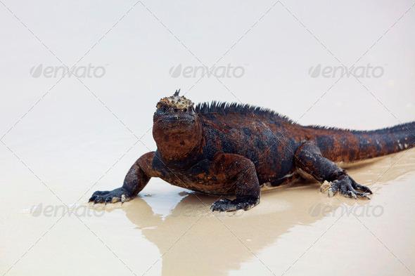 Galapagos marine Iguana - Stock Photo - Images