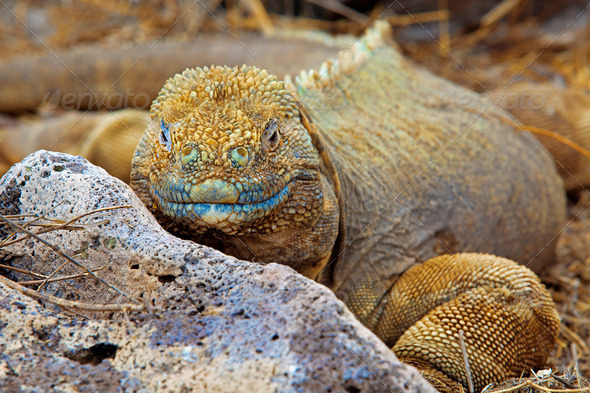 Galapagos land iguana - Stock Photo - Images