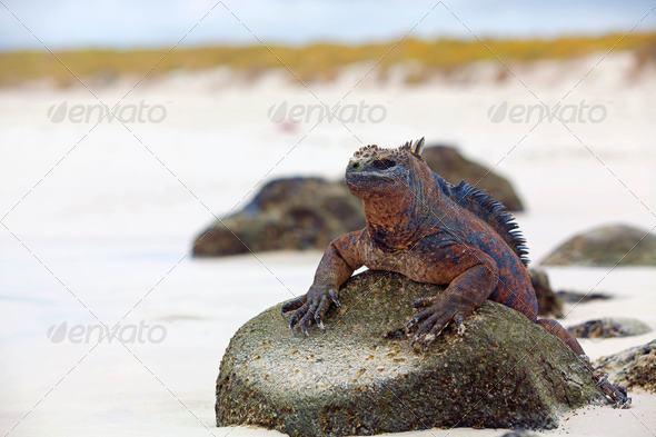 Galapagos marine Iguana - Stock Photo - Images